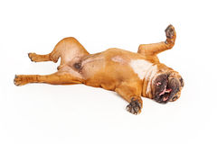 Bulldog laying on back Stock Photo