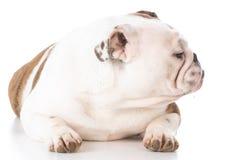 Bulldog laying down Stock Photos