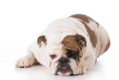 Bulldog laying down Stock Images