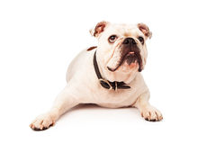 Bulldog Laying Looking Up Stock Photography