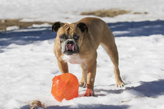 Bulldog licking his lips in the snow Stock Images