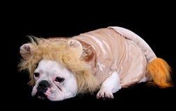 Bulldog lion Royalty Free Stock Photography