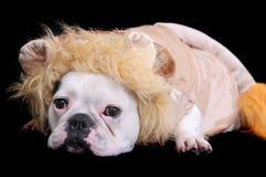 Bulldog lion Stock Photography