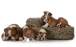 Bulldog litter Royalty Free Stock Photo
