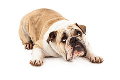 Bulldog Looking Guilty. Bulldog laying against a white background looking up with a guilty expression Royalty Free Stock Photos