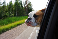 Bulldog looking out car window Royalty Free Stock Photo