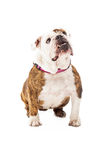 Bulldog Looking Up Stock Photo