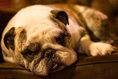 Bulldog lounging Royalty Free Stock Photos