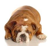 Bulldog lying down Stock Images
