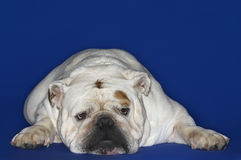 Bulldog Lying Down Royalty Free Stock Photo