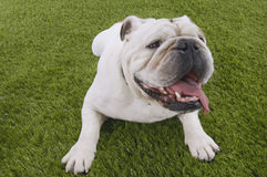 Bulldog Lying In Grass With Head Up Royalty Free Stock Photos