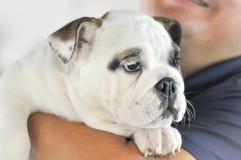 Bulldog and a man Royalty Free Stock Photos