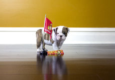 Bulldog Marine Royalty Free Stock Photo