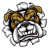 Bulldog Mean Sports Mascot. A mean bulldog dog angry animal sports mascot cartoon character breaking through the background Stock Photo