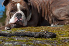 Bulldog meets a  Vipera berus. Bulldog meets a Northern European Vipera berus. A bulldog during exercise to be calm and just study in the meeting with snakes Stock Photo