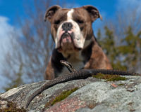 Bulldog meets a  Vipera berus. Bulldog meets a Northern European Vipera berus. A bulldog during exercise to be calm and just study in the meeting with snakes Stock Image