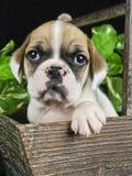 Bulldog Mix Puppy Royalty Free Stock Photos