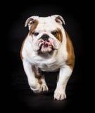 Bulldog moving Stock Image