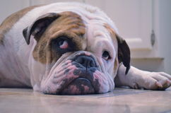 Bulldog nel pensiero Fotografia Stock Libera da Diritti