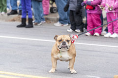 Bulldog parade rest. Taunton, Massachusetts, USA - December 5, 2010: Bulldog enjoying a break at Taunton Christmas Parade Royalty Free Stock Images