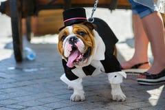 Bulldog parade. ST PETERSBURG, RUSSIA - June 17, 2017: Bulldog takes part in performance during summer English bulldog parade in a city street royalty free stock photography