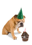 Bulldog party Stock Images