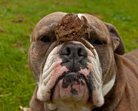 Bulldog is patiently with toad on his head Stock Image