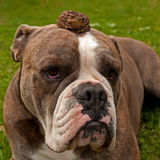 Bulldog is patiently with toad on his head Stock Images