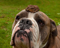 Bulldog is patiently with toad on his head Stock Photography