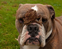 Bulldog is patiently with toad on his head Stock Photo