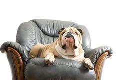 Bulldog pigro felice del cane su un sofà Fotografie Stock Libere da Diritti