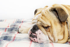 Bulldog on a plaid Stock Photography