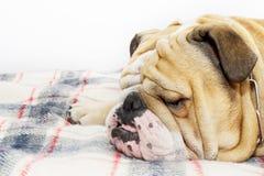 Bulldog on a plaid Stock Photography