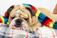 Bulldog on a plaid Stock Photo