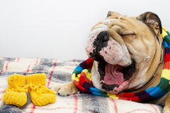 Bulldog on a plaid Royalty Free Stock Photos