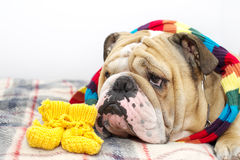 Bulldog on a plaid Royalty Free Stock Image