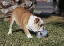 Bulldog with a plastic bottle in the grass Royalty Free Stock Photos