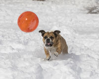 Bulldog playing with a ball in the snow Royalty Free Stock Photos