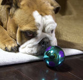 Bulldog playing with an ornament Royalty Free Stock Image