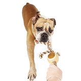 Bulldog Playing Tug of War Royalty Free Stock Photography