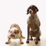 Bulldog and Pointer sitting licking lips. English Bulldog and German Shorthaired Pointer sitting licking lips Royalty Free Stock Images