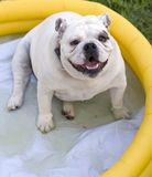 Bulldog in Pool Royalty Free Stock Image