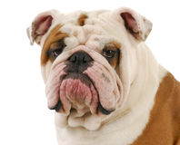 Bulldog portrait. English bulldog head portrait on white background Royalty Free Stock Photography