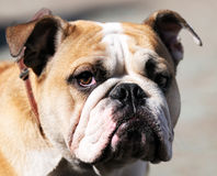 Bulldog portrait Royalty Free Stock Image