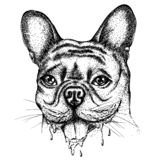 Bulldog. Portrait of a bulldog with dripping drool. Vector hand drawn illustration. Monochrome drawing isolated on white background royalty free illustration