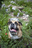 Bulldog portrait on the mountain in the flowers. An English Bulldog standing in the flowers and greens during a hike for an above view portrait royalty free stock photo