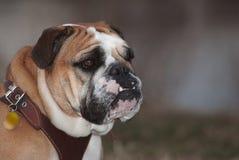 Bulldog Royalty Free Stock Image