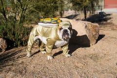 Bulldog posato come tartaruga di deserto da una roccia Fotografia Stock