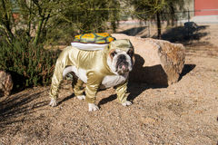 Bulldog posed as a desert tortoise by a rock Stock Photo