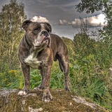 Bulldog posing on a stone in HDR. Bulldog posing on a rock with a lot of vegetation in HDR stock image